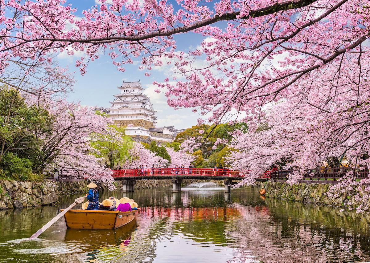 شکوفههای گیلاس در شهر شیروئیشی ژاپن
