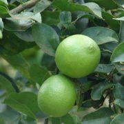 جشنواره لیموی قصرشیرین